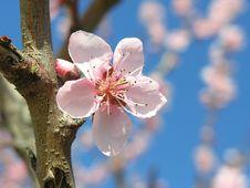 Free Pink Blossom Tree Royalty Free Stock Photo - 4485075