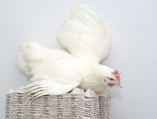 Free Chicken White Parent On The Egg Packs Stock Images - 4485774