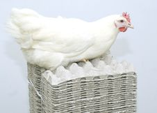 Free Chicken White Parent On The Empty Egg Pack Stock Photo - 4485900