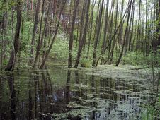 The Flooded Wood In Spring Stock Photography