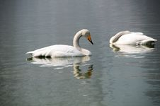 Free Swan Stock Images - 4487084