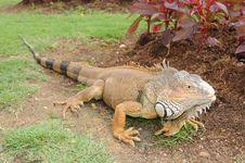 Free Green Iguana Royalty Free Stock Photography - 4487697