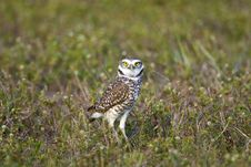 Free Burrowing Owl Hunting Royalty Free Stock Photos - 4488628