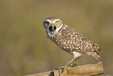 Free Burrowing Owl Expelling A Pellet Royalty Free Stock Image - 4488836