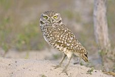 Free Burrowing Owl Outside His Burrow Royalty Free Stock Photos - 4488908