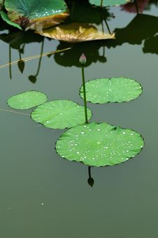 Free Water Lily & Lotus Leaf Royalty Free Stock Photo - 4489865
