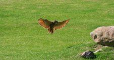 Free Owl Royalty Free Stock Photo - 4490305