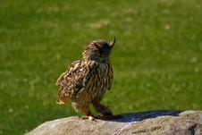 Free Owl Stock Photo - 4490340