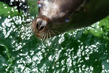 Free Seal Female Stock Photography - 4491322