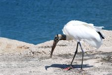 Free Woodstork Royalty Free Stock Photo - 4491365