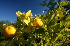Free Fresh Oranges Royalty Free Stock Image - 4491516