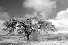 Free Old Pinion Tree Royalty Free Stock Photo - 4492125