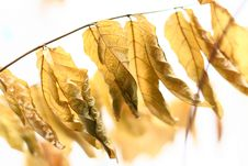 Free Golden Leaf Royalty Free Stock Image - 4492276