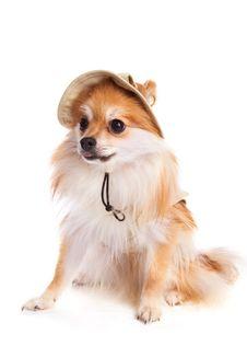 Free Pomeranian Pup On The Go Stock Image - 4492291
