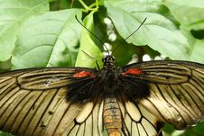 Free Papilio Butterfly Royalty Free Stock Photography - 4492347