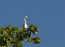 Free Egret Perched Stock Images - 4492494