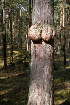 Breasts On Pinetree Stock Photos