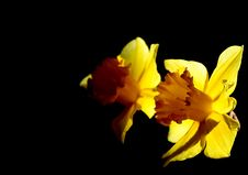 Free Narcissus Composition Stock Image - 4493421