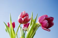 Free Pink Tulips Royalty Free Stock Images - 4493539