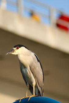 Free Black Crowned Night Heron Royalty Free Stock Photos - 4494018
