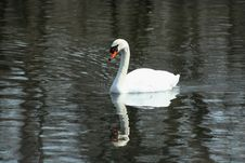 White Swan Swimming In A Lake Stock Photos