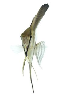 Free Angelfish (Pterophyllum Scalare) Stock Image - 4497231