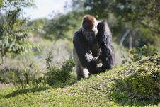 Free Gorilla In The Wild Stock Images - 4497564