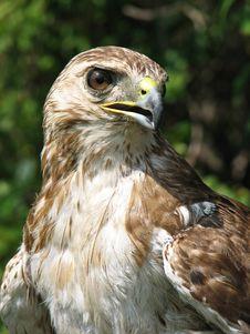 Free Bird Of Prey Stock Photos - 4498133