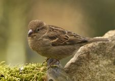 Free House Sparrow - (Passer Domesticus) Female Royalty Free Stock Photo - 4498915