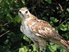 Free Bird Of Prey Stock Photo - 4499180