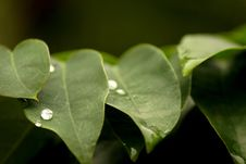Free Pearly Waterdrops On Leaf Stock Photography - 44941112