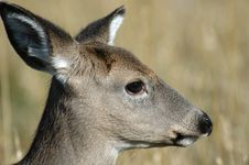 Free Deer Stock Photo - 451820