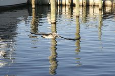 Free Pelican And Reflection Royalty Free Stock Image - 451846
