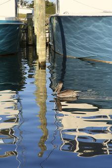 Free Pelican Reflection Royalty Free Stock Photography - 451967