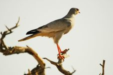 Free Southern Pale Chanting Goshawk Stock Photos - 452903