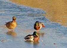 Free Duck Ballet On An Ice Royalty Free Stock Images - 453119