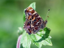 Butterfly Araschnia Levana. Royalty Free Stock Photography