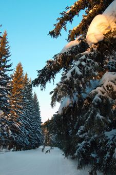 Free Winter Firs Stock Photo - 456560