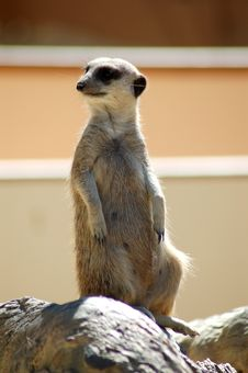 Free Meerkat On The Lookout Royalty Free Stock Photos - 456778
