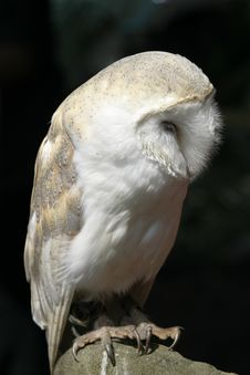 Free Shy White Owl Stock Photography - 457032