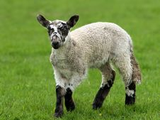 Free Lamb In Springtime Stock Photography - 457402