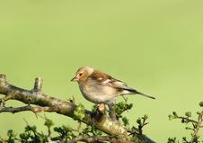 Free Female Chaffinch Royalty Free Stock Photos - 457498