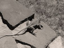 Free Lizard Sepia Stock Images - 457934