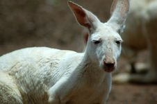 Free White Kangaroo Royalty Free Stock Photography - 458437