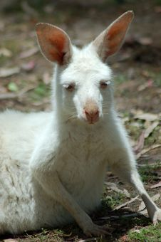 Free Young White Joey Stock Photo - 458440