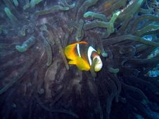 Free Yet Another Clownfish Royalty Free Stock Images - 458669