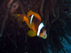 Free Kissing Clownfish Royalty Free Stock Photo - 458675