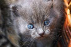 Free Kitten Royalty Free Stock Photo - 458845