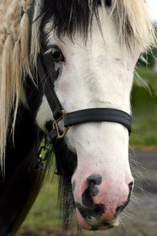 Free Face Of A Gypsy Cob Horse Stock Photography - 459572