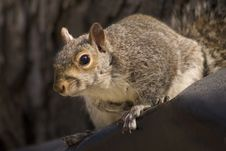 Free Squirrel Royalty Free Stock Photos - 459728